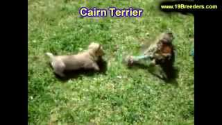 Cairn Terrier, Puppies, For, Sale, In, Springfield, Missouri, Mo, St  Charles, St  Joseph, O'fallon,