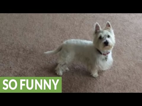 Westie goes nuts for pool time, immediately dives in