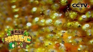 [正大综艺·动物来啦]小丑鱼卵靠吸收海水里的微生物存活| CCTV