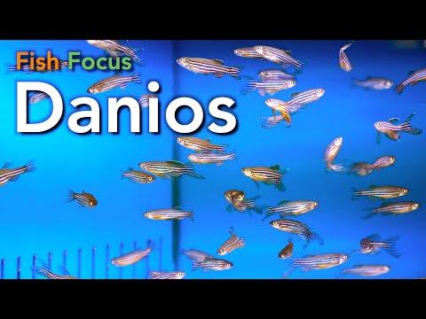 Fish Focus - Danios