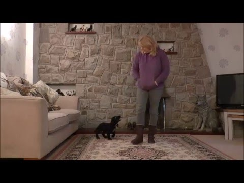 Dog Training- Teaching a Puppy Not to Jump Up.