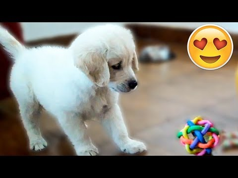 My Golden Retriever Puppy 8 Weeks old Playing with Ball for the First Time!