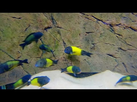 The BEST African Cichlid Breeder! [Tour]