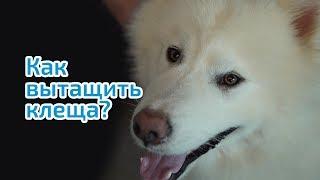 Клещ у собаки. Как ВЫТАЩИТЬ КЛЕЩА у собаки в домашних условиях.