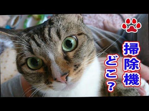 猫がめっちゃ怒った。みみに嫌われた【瀬戸のみみ日記】The cat got very angry Vacuum cleaner and Mimi