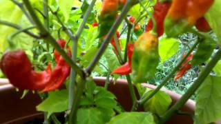 2011 bhut jolokia ghost pepper plant final update fruit are all almost ripe