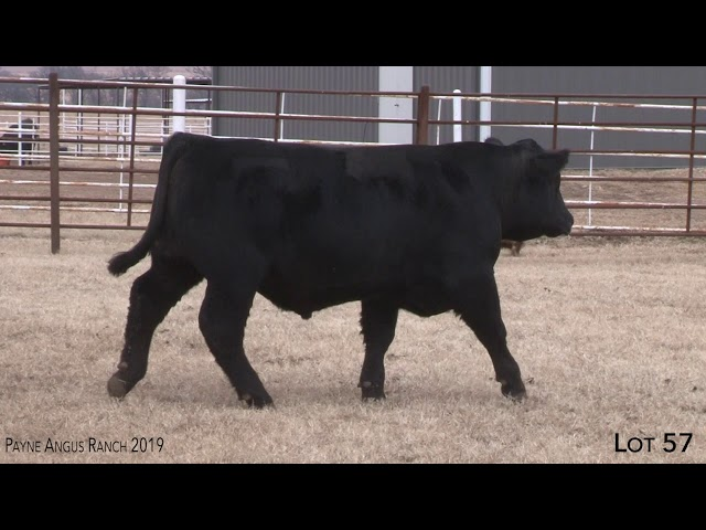 Payne Angus Ranch Lot 57