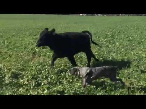 Hangin Tree Cowdogs Dog Breaking 178 Head On Wheat Pasture Youtube