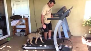 Malinois Puppy Shaping Heeling Using A Treadmill