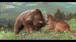 회색곰 vs 퓨마 살벌하네요 ㄷㄷㄷ
