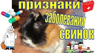 свинка заболевания/болезни морских свинок и их лечение/болезни морских свинок и их симптомы