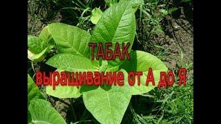 Табак. Выращивание от А до Я. Моя маленькая табачная плантация.