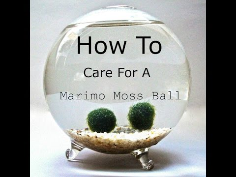 How To Care For A Marimo Moss Ball No Commentary Youtube