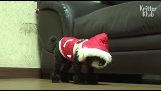 Dog Freezes Whenever He Wears A Hat, Because..? | Kritter Klub
