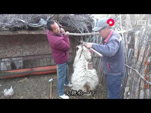 陕北刘四:陕北农村杀羊,活羊76斤,纯羊肉能有多少,出肉率高吗?