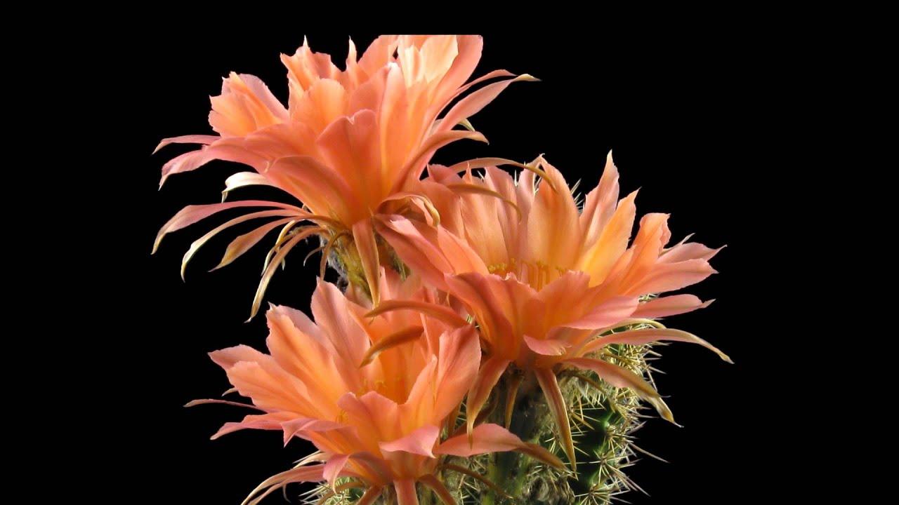 Timelapse Cactus Echinopsis Sunset - YouTube