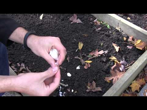 How to Grow Garlic In Spring or Fall - Complete Growing Guide | MIgardener
