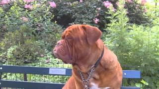 French Mastiff Dog In Central Park In New York City