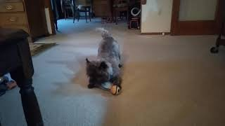 Funny Wacky Dog! Cairn terrier