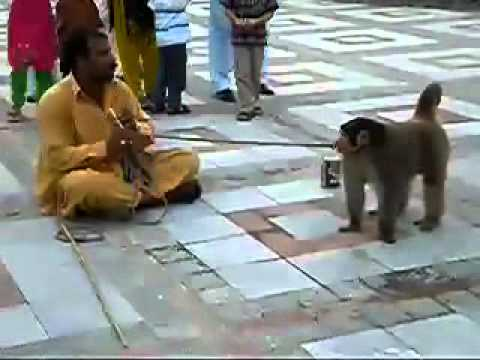 The monkey tricks in Paksitan