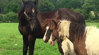 Chevaux CURLY- JAK CURLY HARAS FRANCE