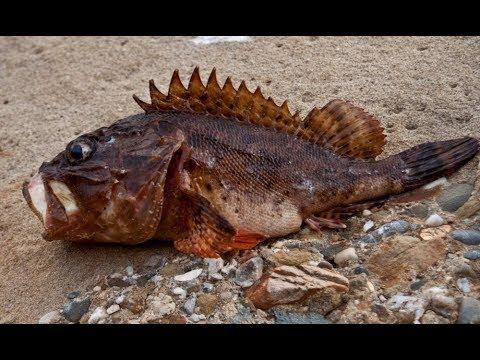 Севастополь. Ночная рыбалка с берега на скорпену (морского ерша) thumbnail
