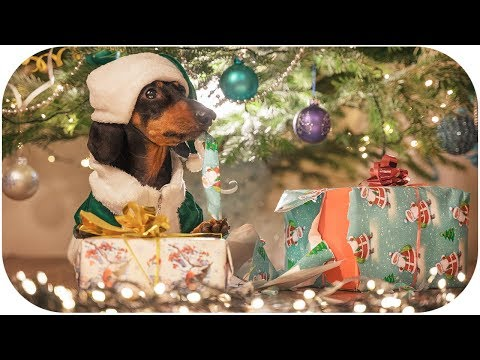 How Dog Grinch Stole Christmas! Cute & funny dachshund video!