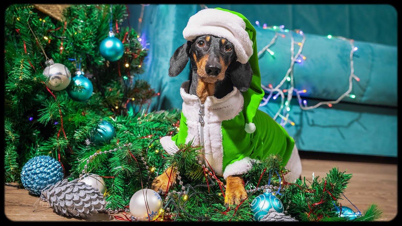 Grinch Stole Christmas Dog.How Dog Grinch Stole Christmas Cute Funny Dachshund Video