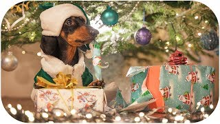 How Dog Grinch Stole Christmas! Cute & funny dachshund video!