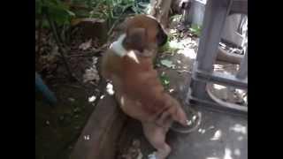 日本のオールドイングリッシュブルドッグス。 2013.3.25生まれ。尾長の...