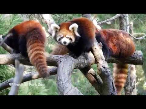 Prospect Park Zoo Red Panda Cubs | WCS