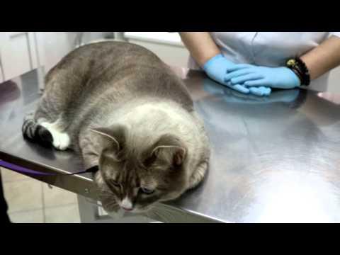 Вопрос: Можно ли делать коту с лишаем плановую ревакцинацию от бешенства?