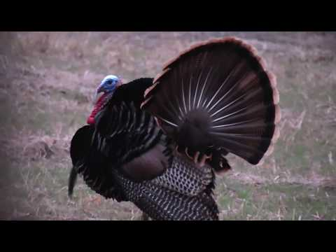INCREDIBLE Public Land Turkey Hunt.
