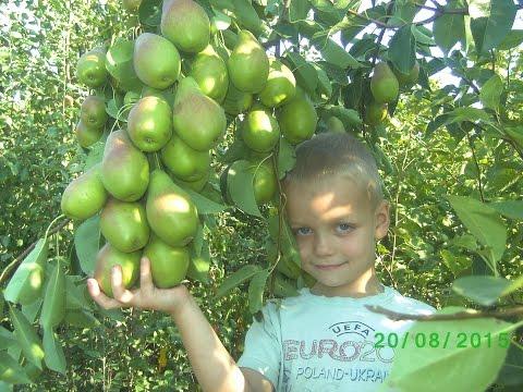 Груша Талгарская Красавица (pear Stable)