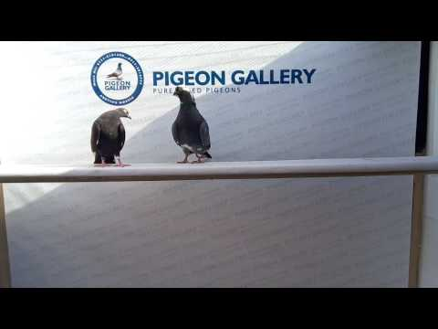 Indian Dobaz Breed By Pigeon Gallery