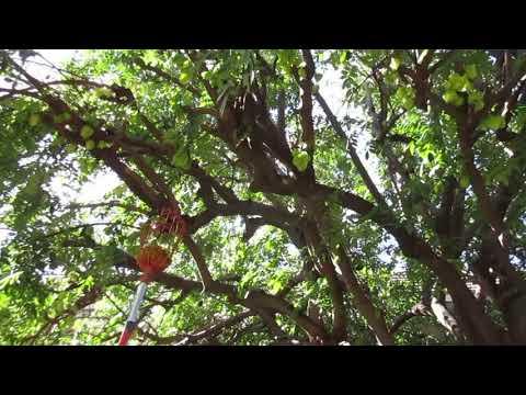 Harvesting  Star Fruit on Maui