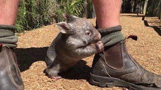 Wombat bebé