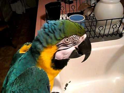 paco my cranky parot talks for treats