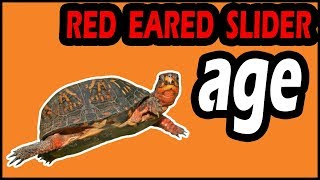 How to Tell the Age of a Red-eared Slider Turtle?