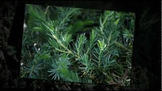 Juniper Trees and Shrubs