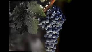 Виноград каталог2 Питомник Антипова