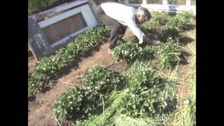 Посадка помидор(Мы хотим этим видео показать-куда мы деваем зелёное удобрение,при поздней посадке культур на грядках по..., 2013-06-07T15:36:35.000Z)