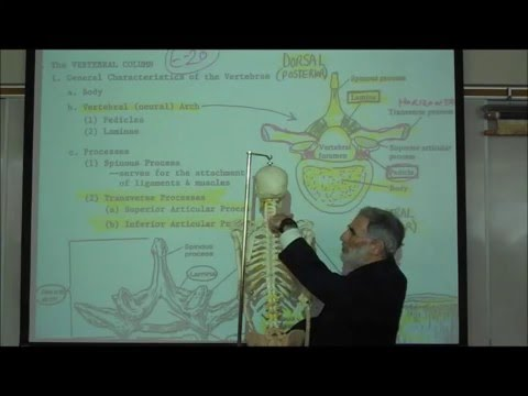 THE VERTEBRAL COLUMN & RIB CAGE by Professor Fink