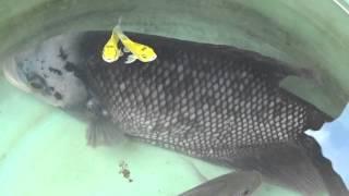 Download Video Ikan Gurami raksasa tinggal 1 ekor MP3 3GP MP4