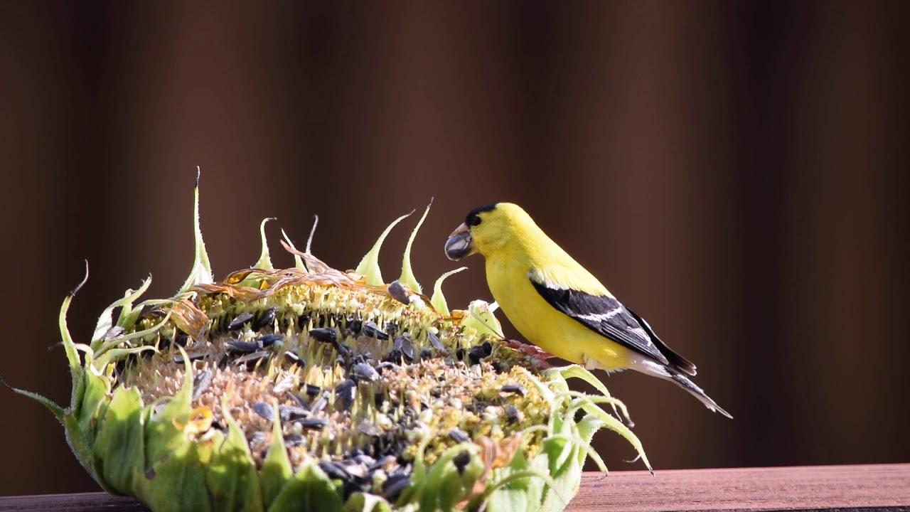 Yellow Finch Sunflower Feast