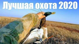 33 крякаша за 33минуты ЁКЛМН или охота 2020 на пшенице с Сибирскими махокрылами на вечерней зорьке