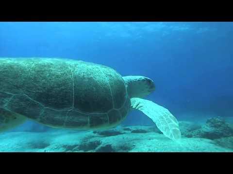 Green Sea Turtle (Chelonia Mydas) @ The Caves - Cape Greko - Cyprus