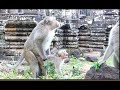 It makes me laugh until the end of this video, Funny baby monkey