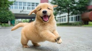 Funniest & Cutest Golden Retriever Puppies  30 Minutes of Funny Puppy Videos 2020