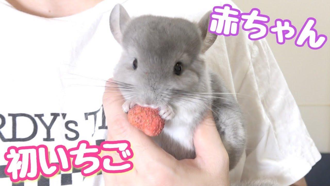 チンチラの赤ちゃんにイチゴあげてみたら可愛かった!!